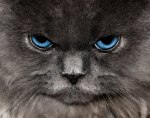 angry-looking-persian-cat