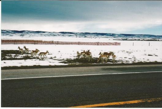 Deer on the roadside, Laramie, Wyoming