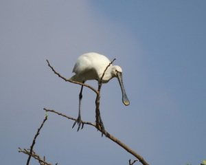 Spoonbills performing amazing highwire balancing acts