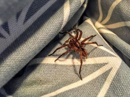 Piedrahita spider